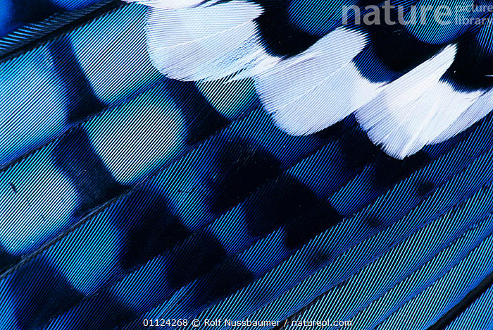 Close up of wing feathers of Blue jay {Cyanocitta cristata} Texas, USA., USA,NORTH AMERICA,CLOSE UPS,JAYS,BIRDS,Corvids, Rolf Nussbaumer