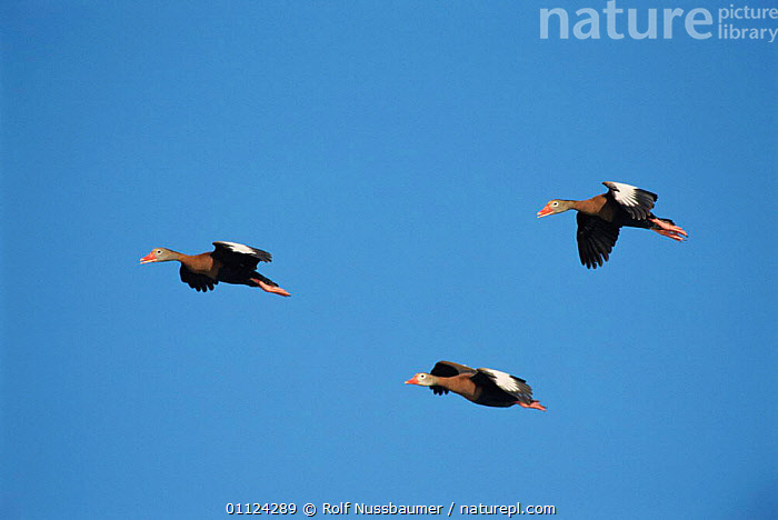 Black belled whistling ducks in flight {Dendrocygna autumnalis} Texas, USA.  ,  FLYING,USA,NORTH AMERICA,GROUPS,SKY,WATERFOWL,Wildfowl  ,  Rolf Nussbaumer