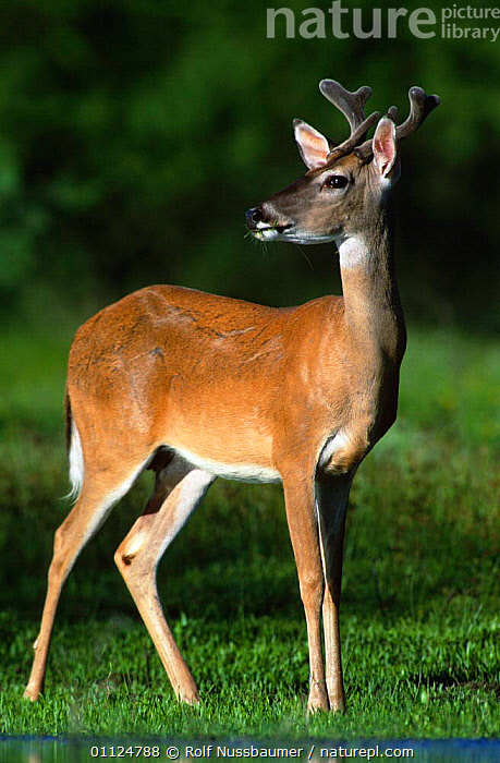 White tailed deer, young male {Odocoileus virginianus} Texas, USA, MAMMALS,ARTIODACTYLA,PORTRAITS,USA,NORTH AMERICA,VERTICAL, Rolf Nussbaumer