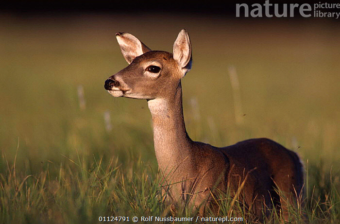 White tailed deer, fawn {Odocoileus virginianus} Texas, USA, NORTH AMERICA,ARTIODACTYLA,JUVENILE,USA,MAMMALS,YOUNG, Rolf Nussbaumer