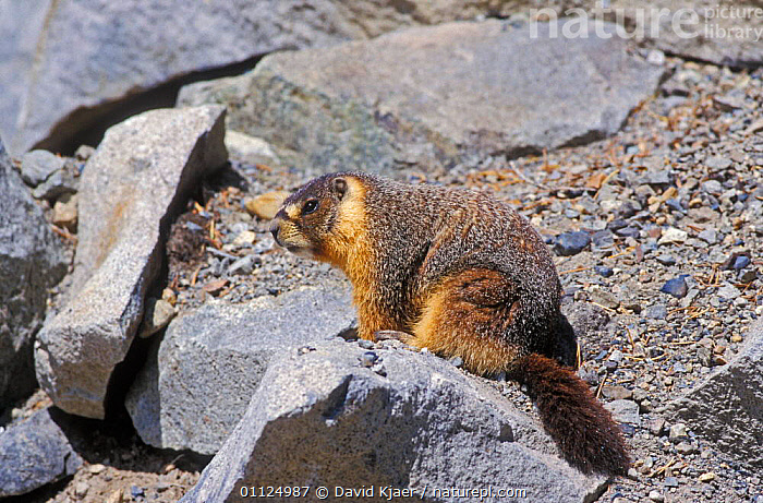 Yellow bellied marmot {Marmota flaviventris} Yosemite, California, USA  ,  RESERVE,RODENTS,NP,MAMMALS,NORTH AMERICA,MARMOTS,USA,National Park  ,  David Kjaer