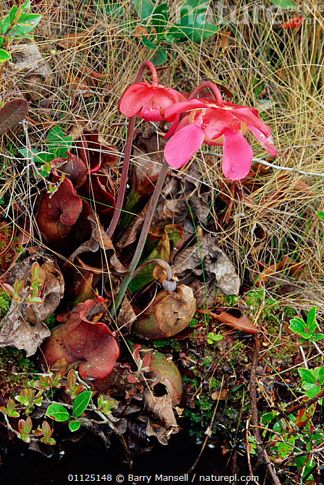 Sweet pitcher plant in flower {Sarracenia rubra} Florida, USA.  ,  INSECTIVOROUS,PLANTS,VERTICAL,NORTH AMERICA,FLOWERS,USA  ,  Barry Mansell