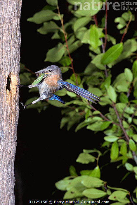 Eastern bluebird female brings food to nest {Sialia sialis} Florida, USA  ,  ACTION,BEHAVIOUR,BIRDS,FEMALES,FLYCATCHERS,FLYING,INSECTS,LEPIDOPTERA,NESTS,NORTH AMERICA,PARENTAL,USA,VERTEBRATES,VERTICAL,Invertebrates  ,  Barry Mansell
