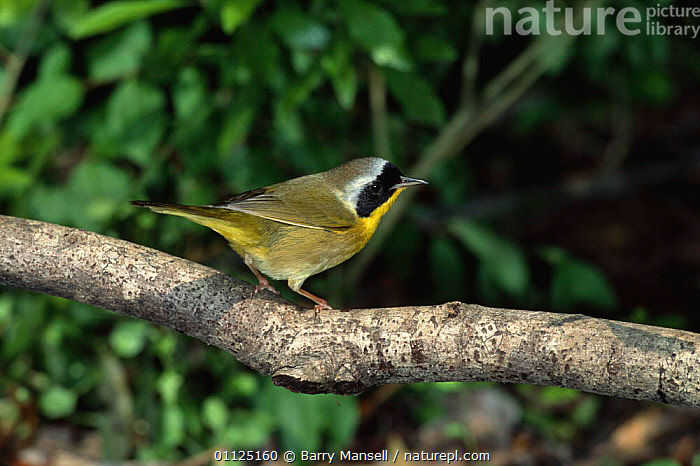 Common yellowthroat, male {Geothlypis trichas} Texas, USA  ,  BIRDS,MALES,NORTH AMERICA,PASSERINES,USA,VERTEBRATES,WARBLERS  ,  Barry Mansell