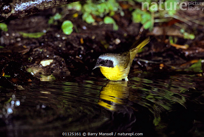 Common yellowthroat, male bathing {Geothlypis trichas} Texas, USA  ,  BATHING,BEHAVIOUR,BIRDS,CLEANING,MALES,NORTH AMERICA,USA,VERTEBRATES,WARBLERS  ,  Barry Mansell
