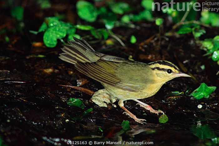 Worm eating warbler {Helmitheros vermivorum} Texas, USA.  ,  BIRDS, USA, VERTEBRATES, WARBLERS,North America  ,  Barry Mansell