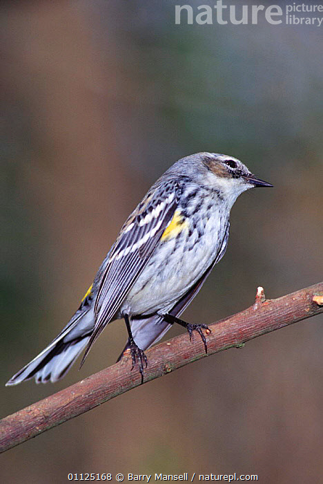 Yellow rumped warbler {Dendroica coronata} Florida, USA  ,  USA, VERTEBRATES, VERTICAL, WARBLERS, BIRDS, NORTH-AMERICA, PASSERINES, YELLOW,North America  ,  Barry Mansell