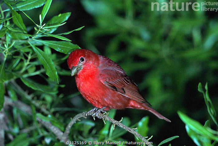 Summer tanager {Piranga rubra} Texas, USA  ,  BIRDS,NORTH AMERICA,PASSERINES,RED,TANAGERS,USA,VERTEBRATES  ,  Barry Mansell