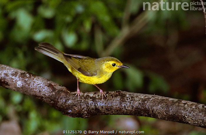 Hooded warbler, female {Setophaga citrina} Texas, USA  ,  BIRDS, FEMALES, NORTH-AMERICA, PASSERINES, USA, VERTEBRATES, WARBLERS,North America  ,  Barry Mansell