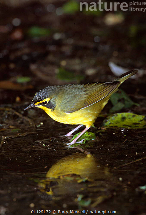 Kentucky warbler at water {Oporonis formosus} Texas, USA  ,  BIRDS, NORTH-AMERICA, USA, VERTEBRATES, VERTICAL, WARBLERS, WATER,North America  ,  Barry Mansell