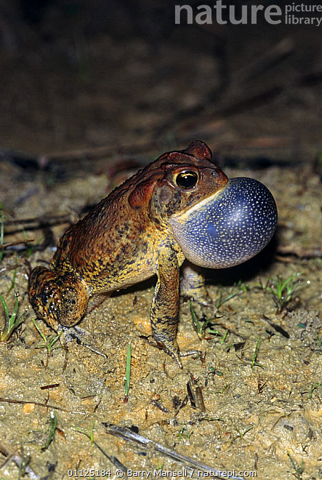 Southern toad calling (Bufo terrestris) Florida, USA  ,  AMPHIBIANS, Anura, NIGHT, TOADS, USA, VERTEBRATES, VERTICAL, VOCALISATION, BEHAVIOUR, CALLING, comunication, NORTH-AMERICA,North America  ,  Barry Mansell