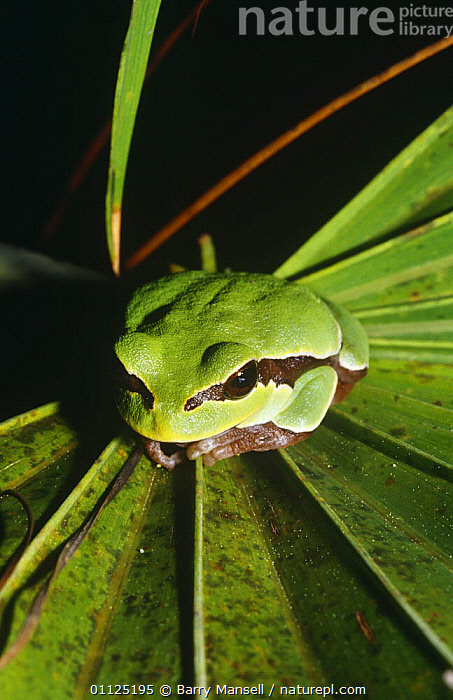 Pine barrens tree frog (Hyla andersoni) Florida, USA  ,  AMPHIBIANS, Anura, FROGS, PORTRAITS, TREE-FROGS, USA, VERTEBRATES, VERTICAL, CAMOUFLAGE, GREEN, NORTH-AMERICA,North America  ,  Barry Mansell