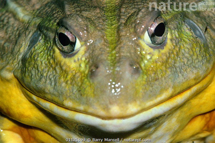 African bullfrog portrait (Pyxicephalus adspersus) Africa, captive  ,  AFRICA,AMPHIBIANS,ANURA,FACES,FROGS,HEADS,MOUTHS,PORTRAITS,VERTEBRATES  ,  Barry Mansell