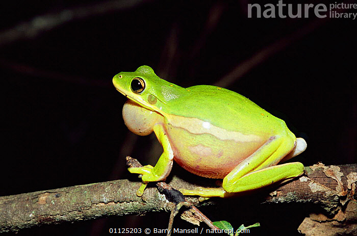 Green tree frog calling {Hyla cinerea} Florida, USA.  ,  MATING BEHAVIOUR,AMPHIBIANS,NORTH AMERICA,USA,VOCALISATION,Reproduction,Anura,Frogs , treefrog  ,  Barry Mansell