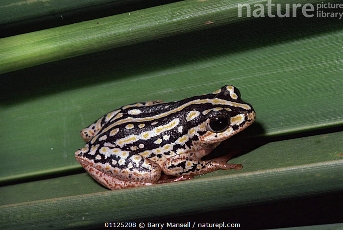 Marbled reed frog {Hyperolius marmoratus taeniatus} Natal, South Africa  ,  AFRICA,AMPHIBIANS,ANURA,FROGS,REED FROGS,SOUTHERN AFRICA,VERTEBRATES  ,  Barry Mansell
