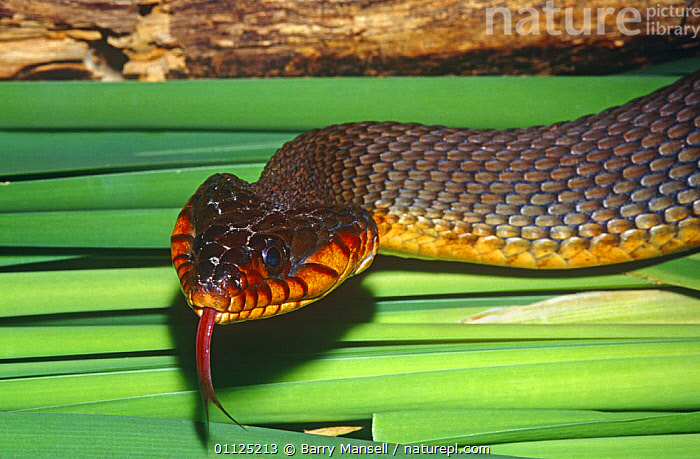 Red belly water snake (Nerodia erythogaster erythogaster) Florida, USA  ,  COLUBRIDS,HEADS,NORTH AMERICA,REPTILES,SNAKES,TONGUES,USA,VERTEBRATES,WATER,WETLANDS  ,  Barry Mansell