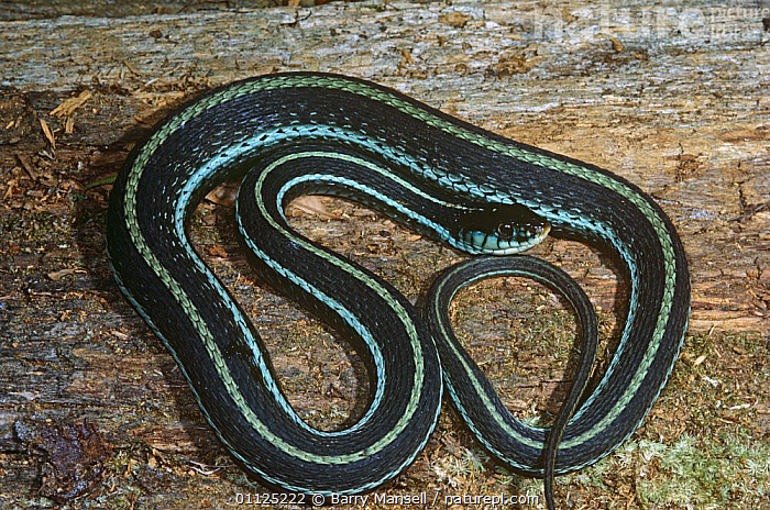 Blue striped garter snake (Thamnophis sirtalis similis) Florida, USA  ,  BLUE,COLUBRIDS,NORTH AMERICA,POISONOUS,REPTILES,SNAKES,STRIPED,USA,VERTEBRATES  ,  Barry Mansell