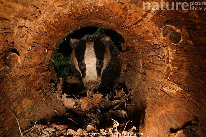Badger {Meles meles} in hollow tree trunk, Yorkshire, England  ,  CARNIVORES,EUROPE,MAMMALS,TRUNKS,BADGERS,TREES,UK,United Kingdom,Plants,British,Mustelids  ,  Paul Hobson