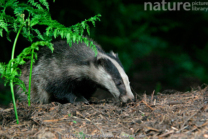 Badger {Meles meles} sniffing in woodland, Yorkshire, England  ,  WOODLANDS,EUROPE,BADGERS,CARNIVORES,MAMMALS,UK,BEHAVIOUR,NIGHT,United Kingdom,British,Mustelids  ,  Paul Hobson