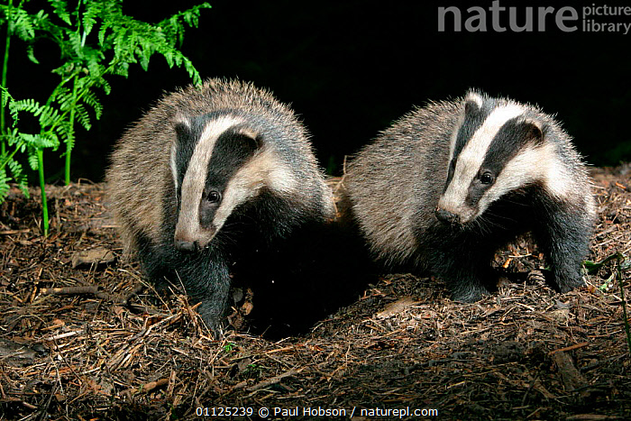 Two Badgers {Meles meles} in woodland, Yorkshire, England  ,  CARNIVORES,MAMMALS,EUROPE,WOODLANDS,NIGHT,UK,United Kingdom,British,Mustelids  ,  Paul Hobson
