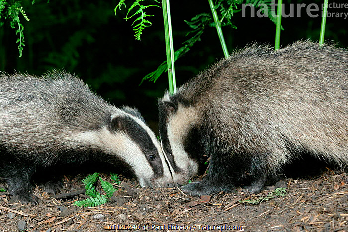 Two Badgers head to head {Meles meles} in woodland, Yorkshire, England  ,  NIGHT,CARNIVORES,SNIFFING,UK,WOODLANDS,MAMMALS,BEHAVIOUR,EUROPE,United Kingdom,British,Mustelids  ,  Paul Hobson