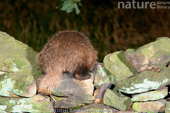 Rear view of Badger on stone wall {Meles meles} Yorkshire, England  ,  CARNIVORES,MAMMALS,EUROPE,BADGERS,BOTTOM,NIGHT,TAILS,UK,United Kingdom,British,Mustelids  ,  Paul Hobson