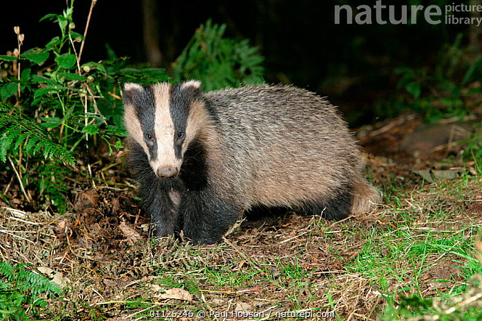 Badger {Meles meles} in woodland, Yorkshire, England  ,  CARNIVORES,WOODLANDS,NIGHT,UK,BADGERS,MAMMALS,EUROPE,United Kingdom,British,Mustelids,GettyBOV  ,  Paul Hobson
