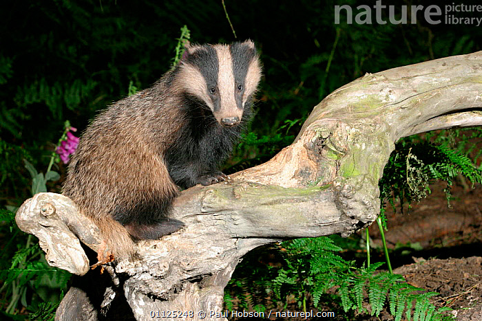 Badger {Meles meles} on tree in woodland, Yorkshire, England  ,  CARNIVORES,UK,EUROPE,WOODLANDS,BADGERS,MAMMALS,NIGHT,United Kingdom,British,Mustelids  ,  Paul Hobson