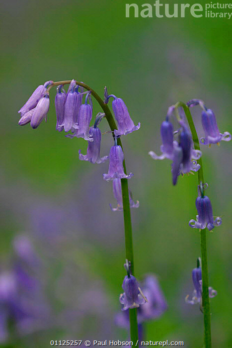 Bluebell flower heads {Hyacinthoides non-scripta} England  ,  BLUE, EUROPE, FLOWERS, LILIACEAE, MONOCOTYLEDONS, PLANTS, PORTRAITS, SPRING, UK, VERTICAL,United Kingdom  ,  Paul Hobson