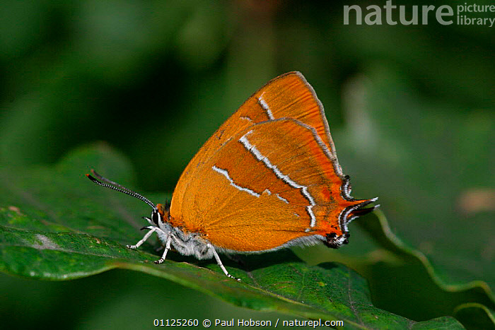 Brown hairstreak butterfly {Thecla betulae} on oak leaf, England  ,  BUTTERFLIES,EUROPE,INVERTEBRATES,UK,WOODLANDS,INSECTS,LEPIDOPTERA,United Kingdom,British  ,  Paul Hobson