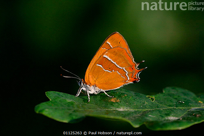Brown hairstreak butterfly {Thecla betulae} on oak leaf, England  ,  BUTTERFLIES,WOODLANDS,INSECTS,LEPIDOPTERA,INVERTEBRATES,UK,EUROPE,United Kingdom,British  ,  Paul Hobson