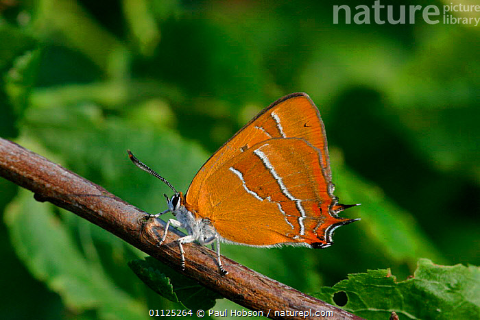 Brown hairstreak butterfly {Thecla betulae} on blackthorn, England  ,  INSECTS,UK,INVERTEBRATES,LEPIDOPTERA,BUTTERFLIES,EUROPE,WOODLANDS,United Kingdom,British  ,  Paul Hobson