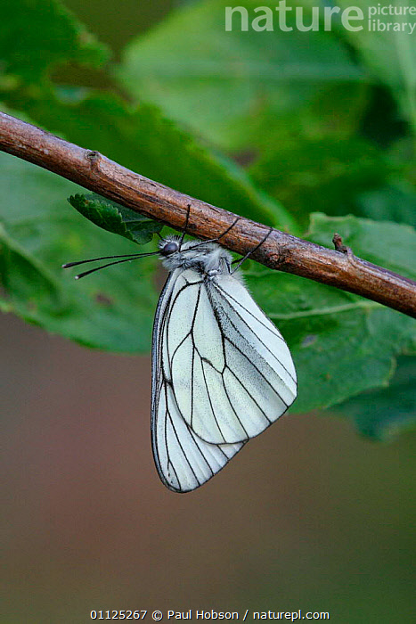 Black veined white butterfly {Aporia crataegi} France  ,  EUROPE,LEPIDOPTERA,INVERTEBRATES,BUTTERFLIES,INSECTS,VERTICAL  ,  Paul Hobson