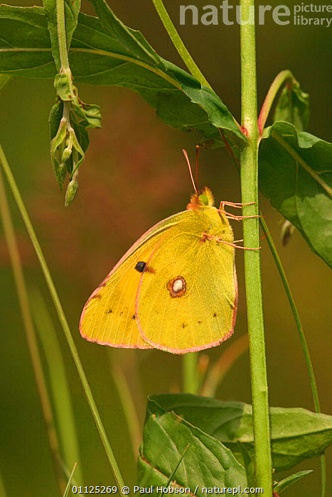 Clouded yellow butterfly {Colias crocea} Dorset, England  ,  BUTTERFLIES,INVERTEBRATES,INSECTS,UK,LEPIDOPTERA,EUROPE,VERTICAL,United Kingdom,British  ,  Paul Hobson