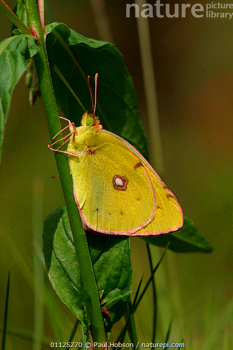 Clouded yellow butterfly {Colias crocea} Dorset, England  ,  EUROPE,INSECTS,LEPIDOPTERA,VERTICAL,BUTTERFLIES,INVERTEBRATES,UK,United Kingdom,British  ,  Paul Hobson