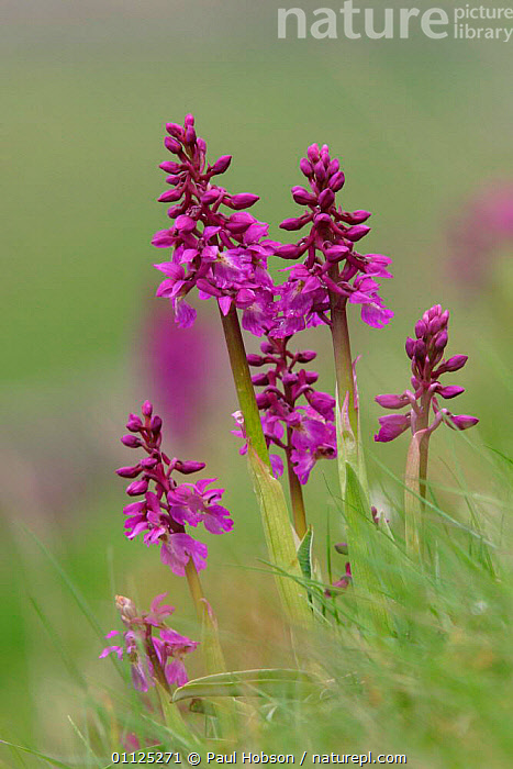 Early purple orchids {Orchis mascula} Peak District National Park, England  ,  EUROPE,FLOWERS,GROUPS,RESERVE,PLANTS,UK,NP,VERTICAL,United Kingdom,British,National Park  ,  Paul Hobson