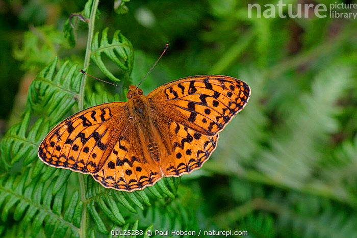 High brown fritillary butterfly {Argynnis adippe} Cumbria, England  ,  INVERTEBRATES,EUROPE,UK,BRACKEN,INSECTS,LEPIDOPTERA,United Kingdom,British,Butterflies  ,  Paul Hobson
