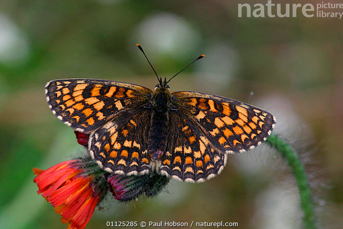 Heath fritillary butterfly {Melitaea athalia} Kent, England  ,  ARTHROPODS, BUTTERFLIES, EUROPE, INSECTS, INVERTEBRATES, LEPIDOPTERA, UK,United Kingdom  ,  Paul Hobson