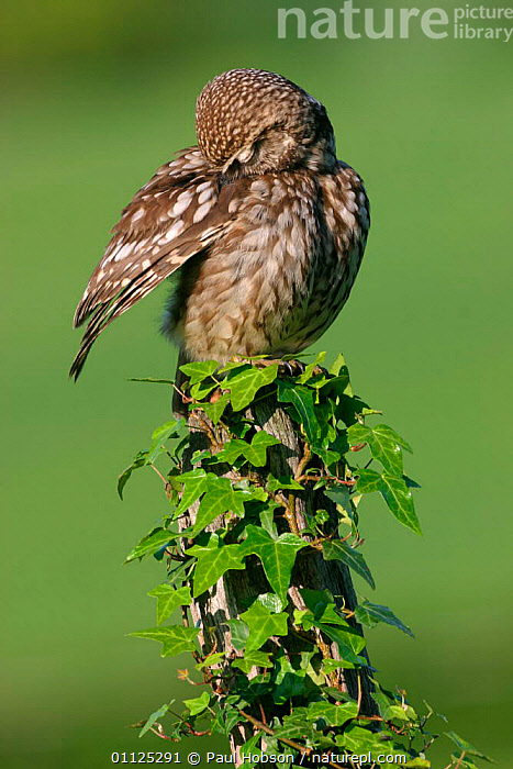 Little owl preening wing {Athene noctua} Derbyshire, England  ,  IVY,VERTICAL,EUROPE,OWLS,BIRDS,BEHAVIOUR,GROOMING,UK,United Kingdom,British,Raptor  ,  Paul Hobson