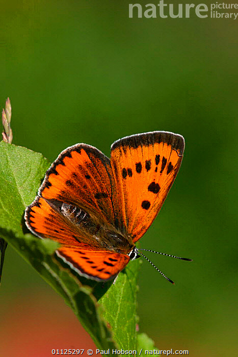 Large copper butterfly, female {Lucaena dispar} England, introduced  ,  VERTICAL,EUROPE,BUTTERFLIES,INVERTEBRATES,INSECTS,UK,LEPIDOPTERA,United Kingdom,British  ,  Paul Hobson