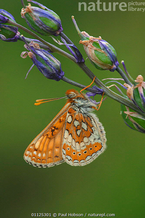 Marsh fritillary butterfly {Euphydryas aurinia} England  ,  EUROPE,VERTICAL,BUTTERFLIES,LEPIDOPTERA,INSECTS,INVERTEBRATES,UK,United Kingdom,British  ,  Paul Hobson