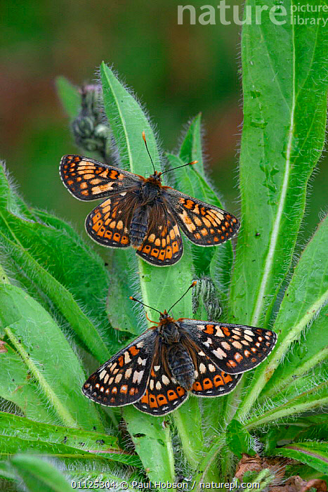 Two Marsh fritillary butterflies {Euphydryas aurinia} England  ,  INVERTEBRATES,LEPIDOPTERA,VERTICAL,EUROPE,INSECTS,UK,United Kingdom,British,Butterflies  ,  Paul Hobson