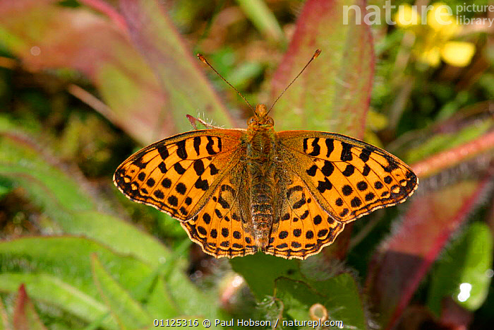 Queen of Spain fritillary butterfly {Issoria lathonia} Spain  ,  ARTHROPODS, BUTTERFLIES, EUROPE, INSECTS, INVERTEBRATES, LEPIDOPTERA  ,  Paul Hobson