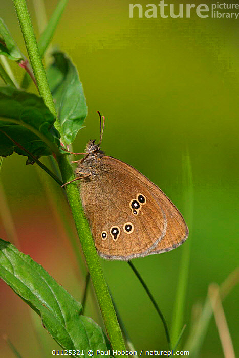 Ringlet butterfly {Aphantopus hyperantus} Yorkshire, England  ,  UK,BUTTERFLIES,EUROPE,INSECTS,VERTICAL,LEPIDOPTERA,United Kingdom,Invertebrates,British  ,  Paul Hobson