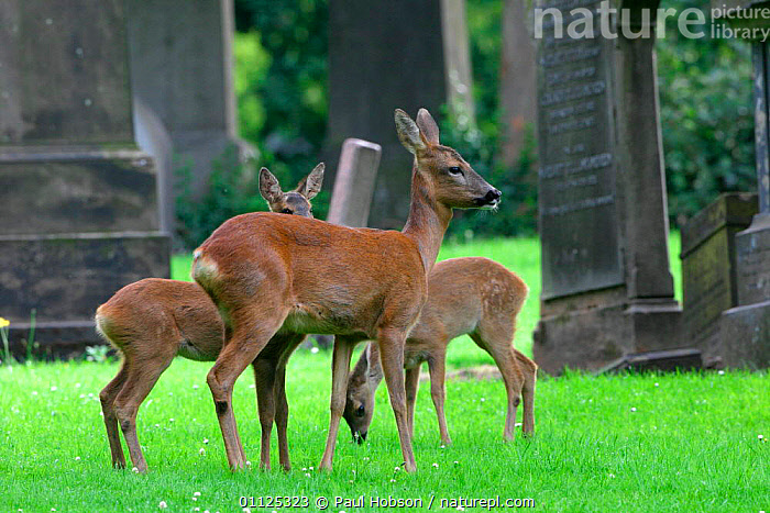 Roe deer group in graveyard {Capreolus capreolus} Scotland  ,  ARTIODACTYLA,GRAVES,EUROPE,FAWN,GROUPS,UK,CHURCHYARD,FAMILIES,FEMALE,MAMMALS,United Kingdom,British  ,  Paul Hobson