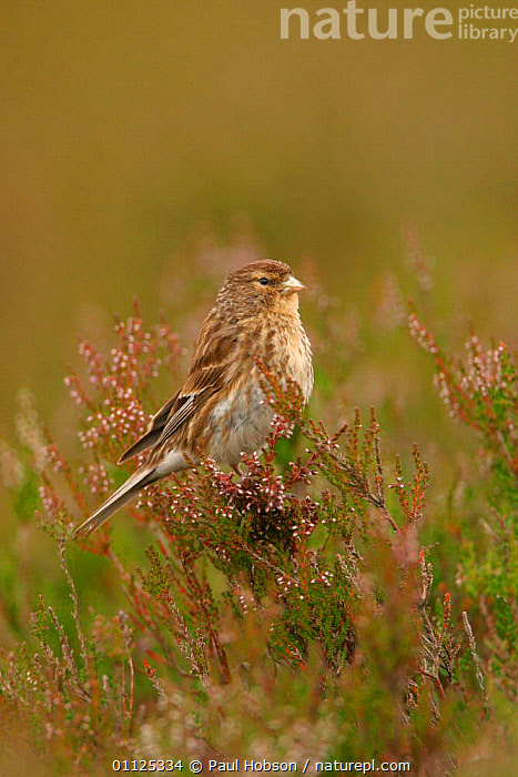Twite in heather {Acanthis flavirostris} Yorkshire, England  ,  BIRDS,EUROPE,FINCHES,UK,United Kingdom,British  ,  Paul Hobson