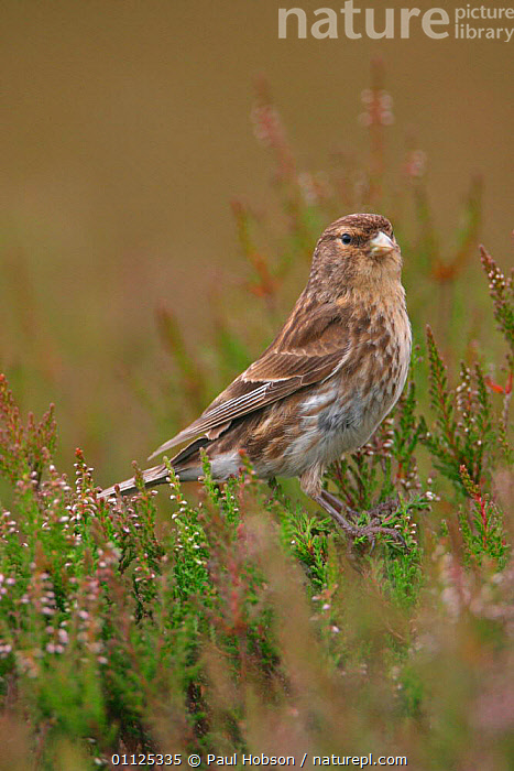 Twite in heather {Acanthis flavirostris} Yorkshire, England  ,  BIRDS,UK,EUROPE,FINCHES,United Kingdom,British  ,  Paul Hobson