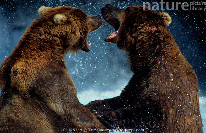 Grizzly bears fighting, Brooks river, Katmai NP, Alaska {Ursus arctos horribilis}  ,  ACTION,BEHAVIOUR,NATIONAL,CARNIVORES,US,USA,NORTH AMERICA,TWO,AGGRESSION,MAMMALS,Concepts,Catalogue1  ,  Eric Baccega