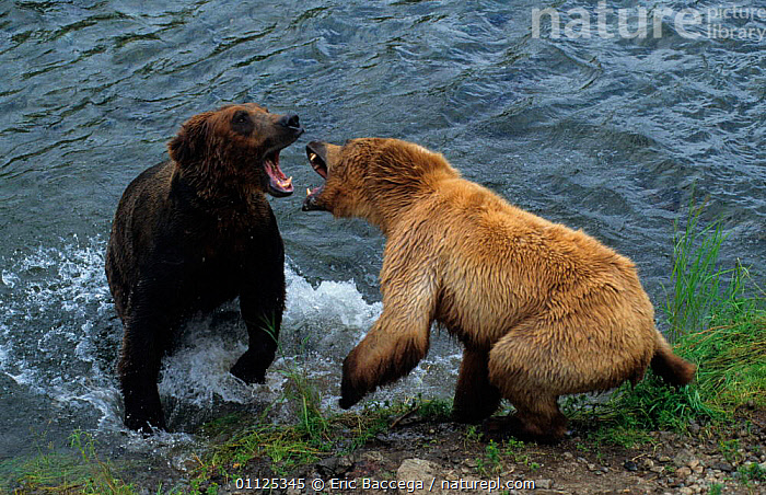 Female Grizzly bear fights male to protect her cubs, Katmai NP, Alaska {Ursus arctos horribilis}  ,  NORTH AMERICA,USA,US,NATIONAL,TWO,FIGHTING,MAMMALS,RIVERS,ACTION,CARNIVORES,AGGRESSION,BEARS,BEHAVIOUR,MALE FEMALE PAIR,Concepts  ,  Eric Baccega