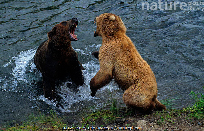 Female Grizzly bear fights male to protect her cubs, Katmai NP, Alaska {Ursus arctos horribilis}  ,  AGGRESSION,BEARS,FIGHTING,NATIONAL,TWO,MAMMALS,ACTION,BEHAVIOUR,MALE FEMALE PAIR,USA,US,NORTH AMERICA,RIVERS,CARNIVORES,Concepts  ,  Eric Baccega